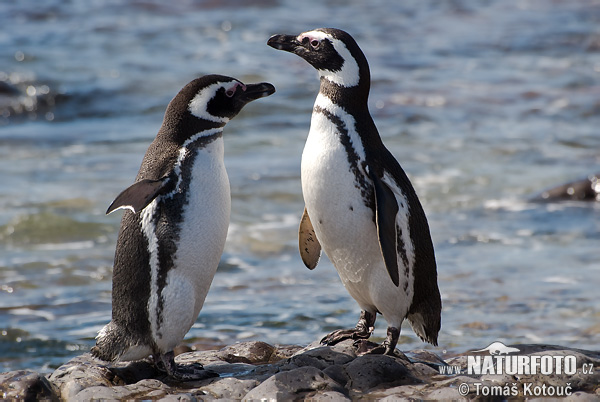 magellan-pingvin-6_4369.jpg