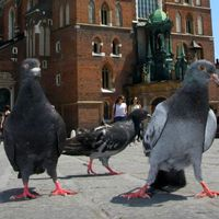 A krakkói galambok legendája