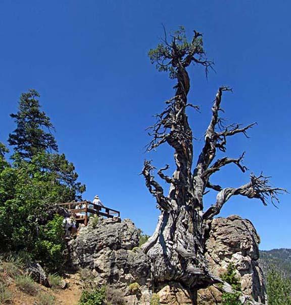 juniper2.jpg