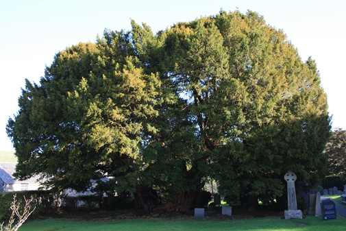 llangernyw-tree.jpg