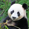 Mi köze a pandáknak az órákhoz?