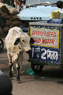 Új Delhi (India) Marhahús csak ebben a formában található