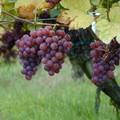 Tramini (Gewürztraminer), a talányos szőlőfajta