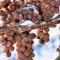 Mitől olyan különleges bor a jégbor?