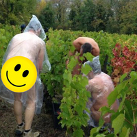 Pucér szüretelők lepték el a francia szőlőföldeket