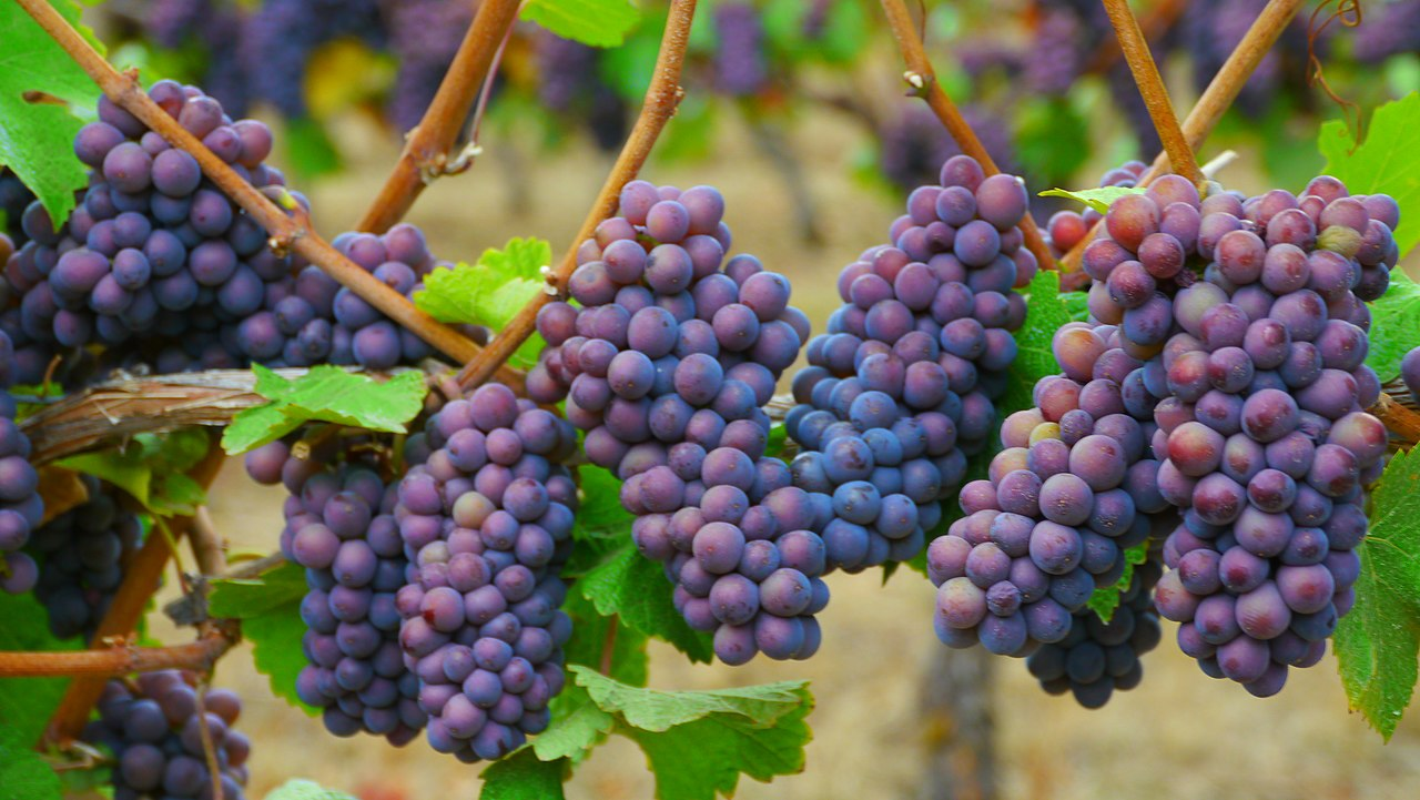 1280px-pinot_gris_grape_clusters.jpg