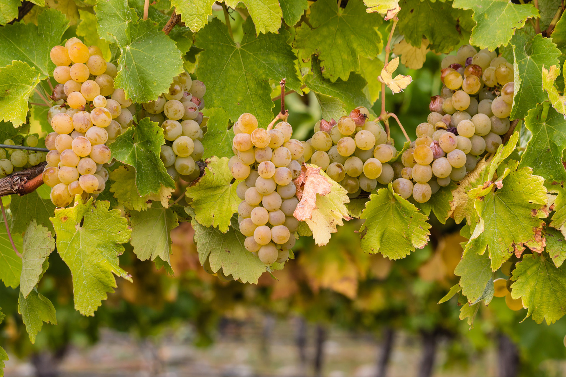 chablis_village_grape_chardonnay_photo_credit_getty_hero_1920x1280.jpg