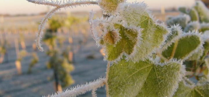 frost_on_grape_vines.jpg