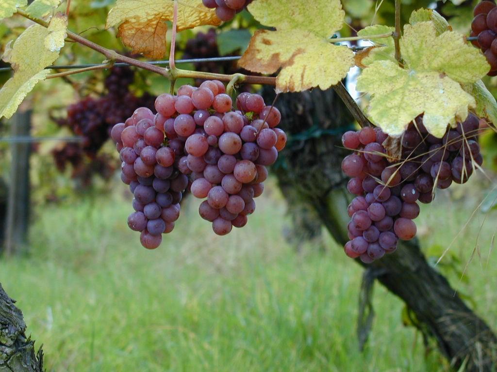 gewurztraminer_raisins_sur_pied_de_vigne.jpg