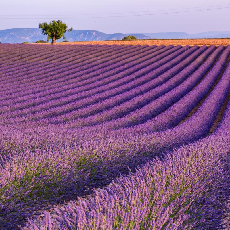 lavender-fields-at-valensoleb4d76e-800x800.jpg