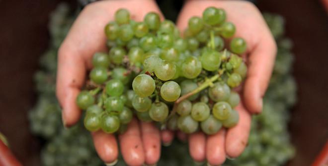 riesling_grape.jpg