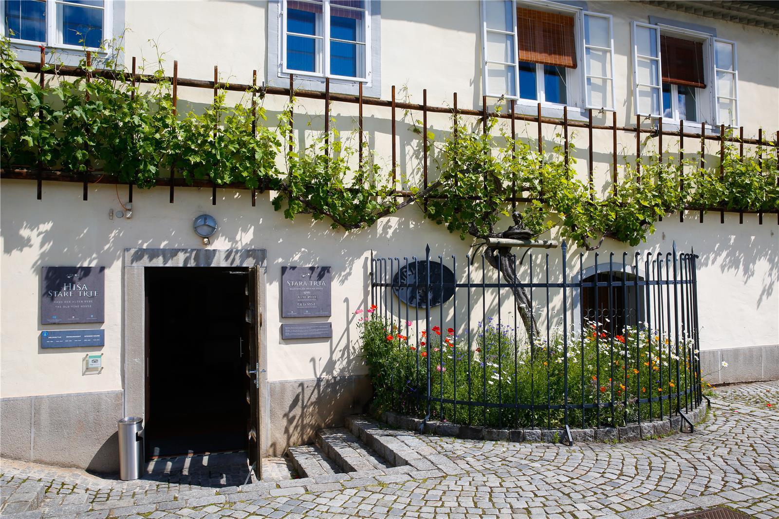 stara-trta-5-maribor-pohorje-slovenija-slovenia-slowenien-domen-groegl.jpg