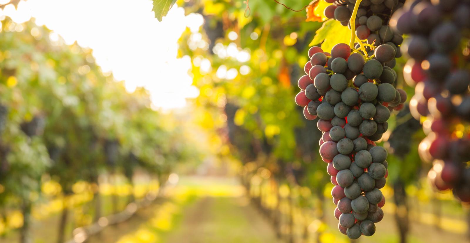 vineyard-shutterstock571565734.jpg