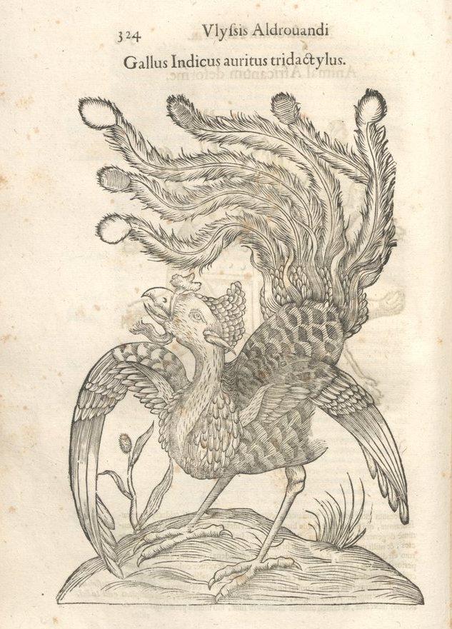 mh-gallusindicus.jpg