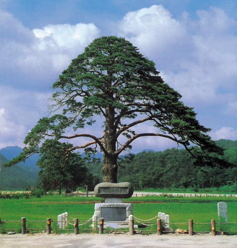 Jeongipumsong, the famous pine tree. Photo: KNPS