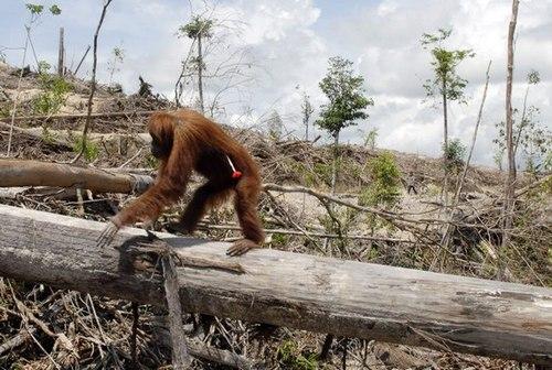 orangutan-deforestation-for-palm-oil-plantationscenes-from-indonesia18.jpeg.scaled500.jpg
