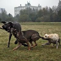 Kutyák önfeledt játéka