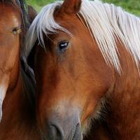 Ló-AIDS: Olaszfalun is találtak beteg állatot