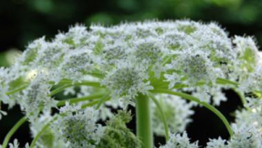 Maradandó heget hagyhat, sőt vakságot okozhat a veszélyes gyomnövény!
