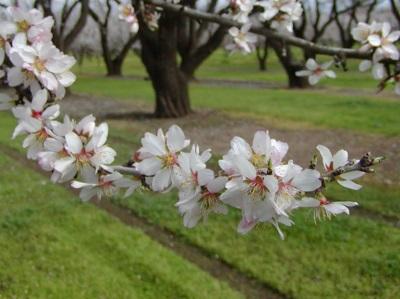 Mandulavirág_13-05-04.jpg