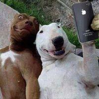 Bullterrier selfi...