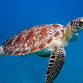 Egyre több a tumoros teknős a szennyezett víz miatt