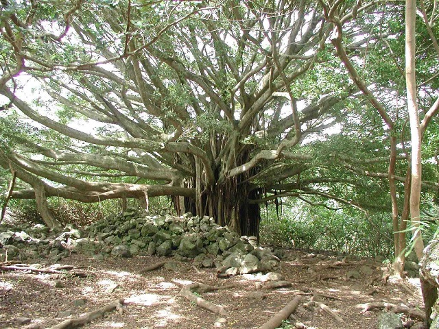 Banyan Tree On Way To Bamboo Forrest.jpg