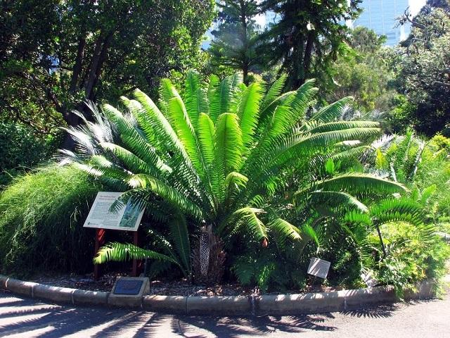 Wollemi Pinebotanical gardnes mike hitchen sydney irresistible.jpg
