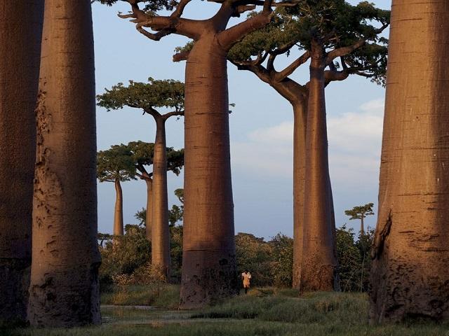 baobab-trees-madagascar_27484_990x742.jpg