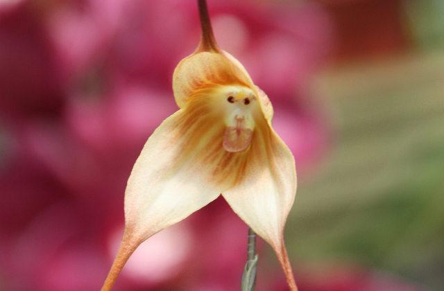 freky_monkey-orchid-1.jpg