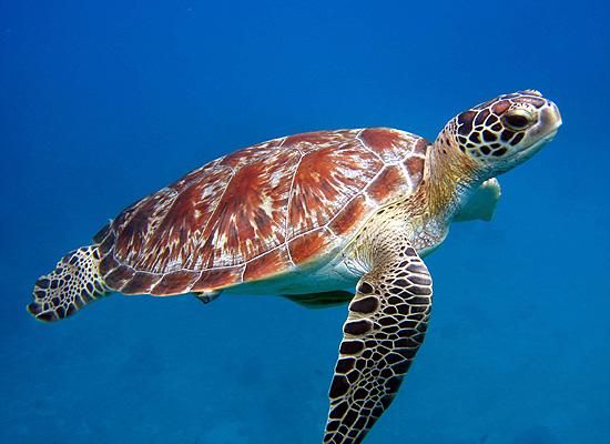 green-turtle.jpg