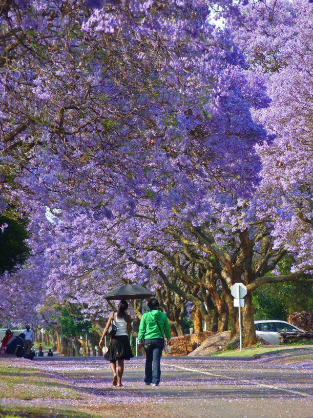 tree_jacanda4.jpg