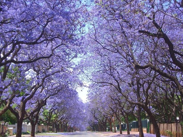 tree_jaracanda2.jpg