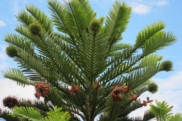wollemi_pine_cones_600.jpg