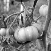Figyelem! Vetőmagok ismét a Növényi Diverzitás Központ fajtagyűjteményéből