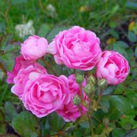 Őszi rózsák és csipkedísz - 2. rész