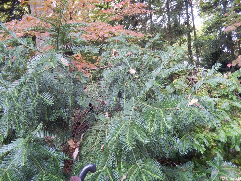 Cephalotaxus sinensis (Kínai fejestiszafa)