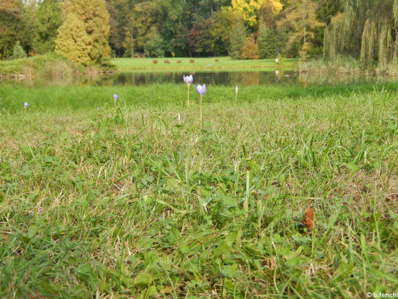 Virágzó őszi kikericsek a tóparton <br /><br />Colchicum autumnale (őszi kikerics)