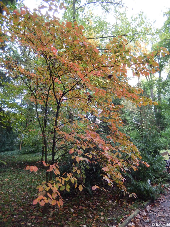 Cornus florida őszi lombszíneződése