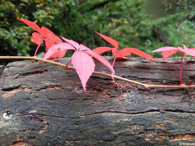 Parthenocissus quinquefolium (vadszőlő)