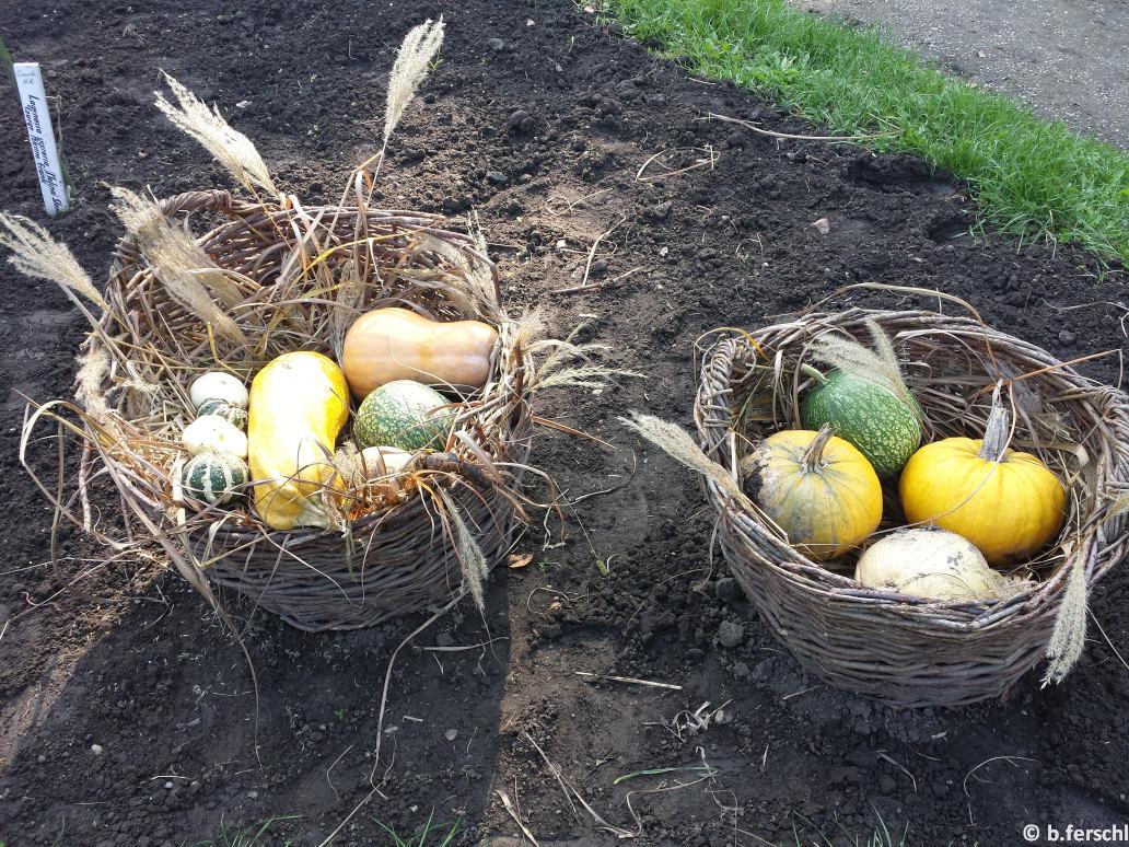 A kabakosok ágyásában az összegyűjtött terméseket kosarakban állították ki