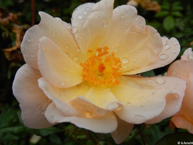 Rosa 'Amber Sun'