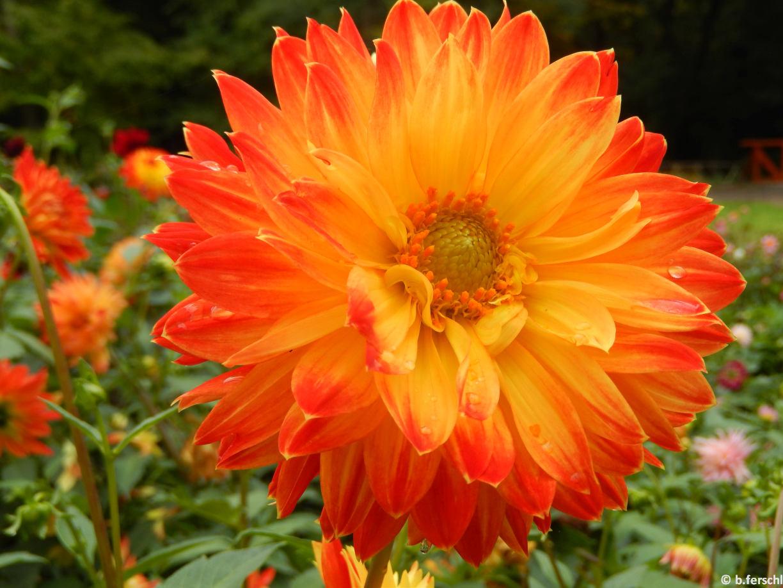 Dahlia 'Autumn Fairy'<br /><br />virágágyi dália