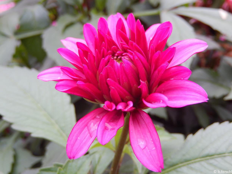 Dahlia 'Bluesette'<br /><br />virágágyi dália