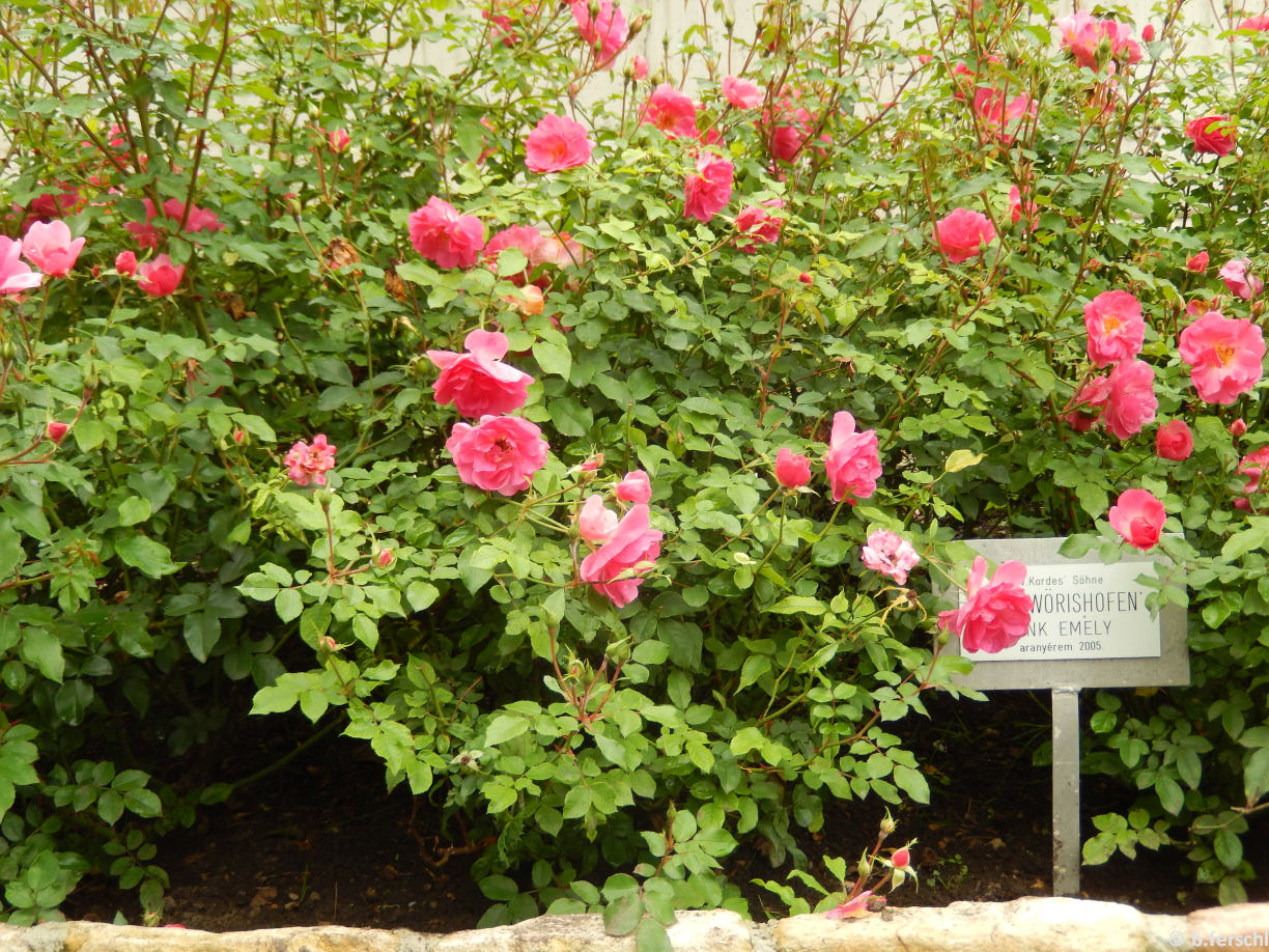 Rosa 'Pink Emely'