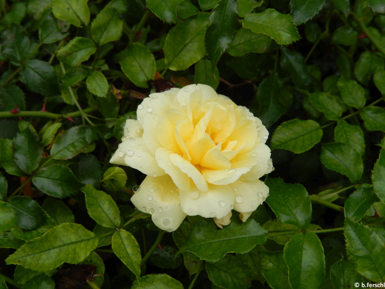 'Sunny Rose'