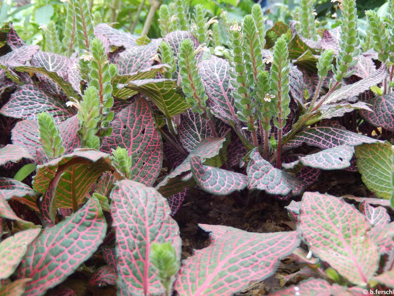 Fittonia verschalffeltii (Acanthaceae)