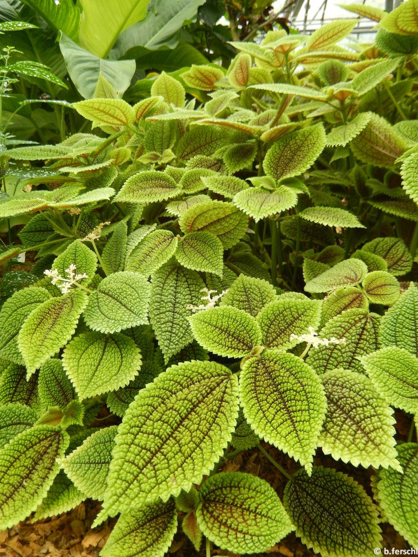 Pilea repens (Urticaceae)