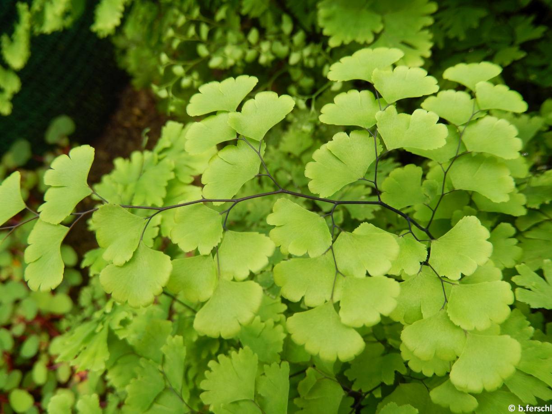 Adiantum jordanii (Pteridaceae)