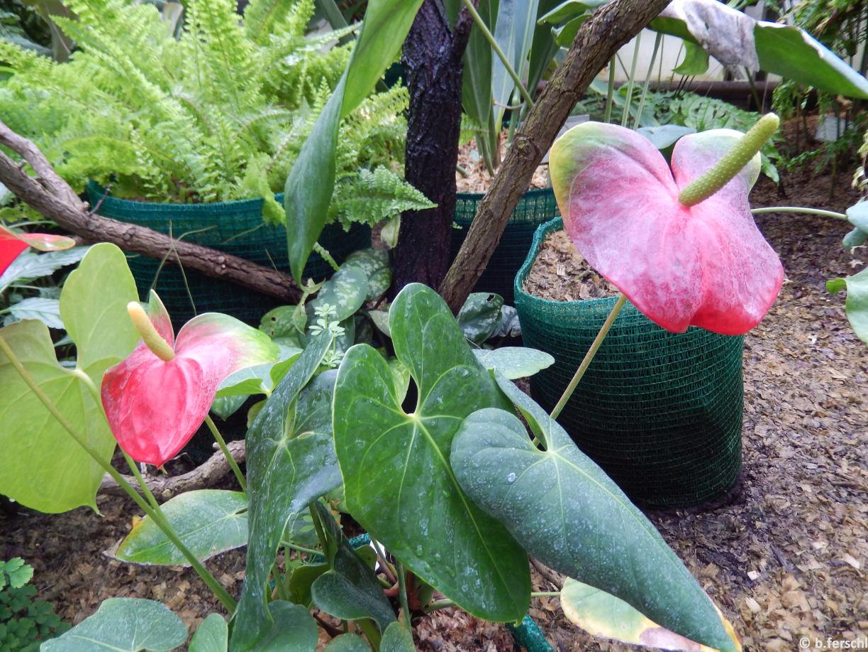 Athurium sp. (flamingóvirág)